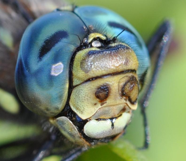 Twelve Spot Dragonfly