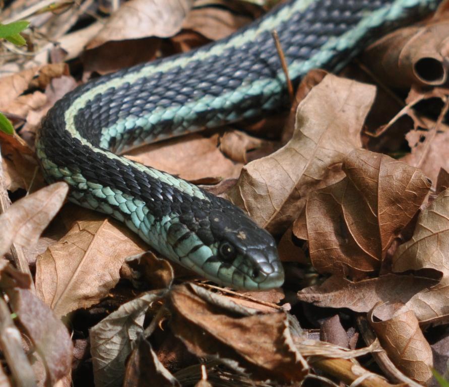 Northwester Garter Snake