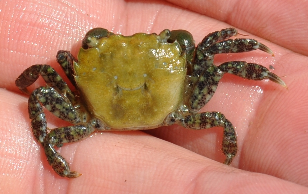 Young Purple Crab